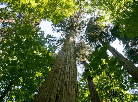タニハタ組子の主材料 国産材 杉